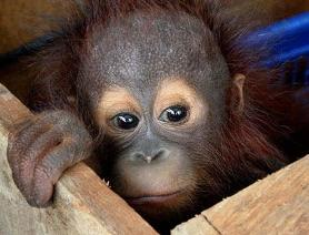 The Illegal Pet Trade - World Orangutan Events - Orangutan Caring Week - World Orangutan Day - International Orangutan Day